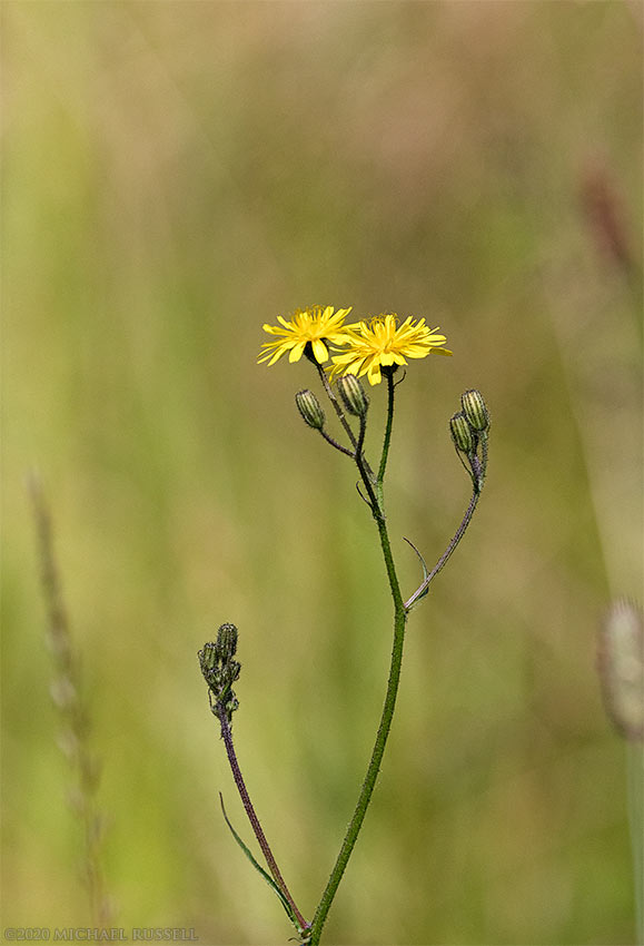 smooth hawksbeard crepis capillaris flowers