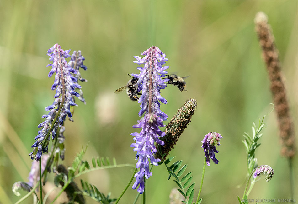 tufted vetch vicia cracca with bumblebees