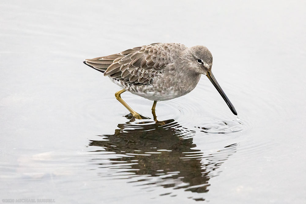 long-billed dowitcher foraging at burnaby lake regional park