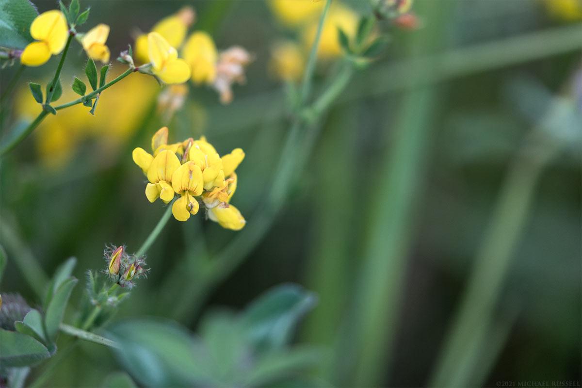 birds-foot trefoil flowers - lotus corniculatus