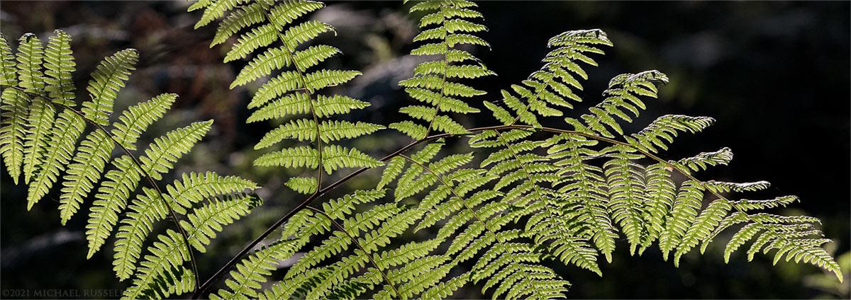 sunlight shines through bracken fern leaves in campbell valley park