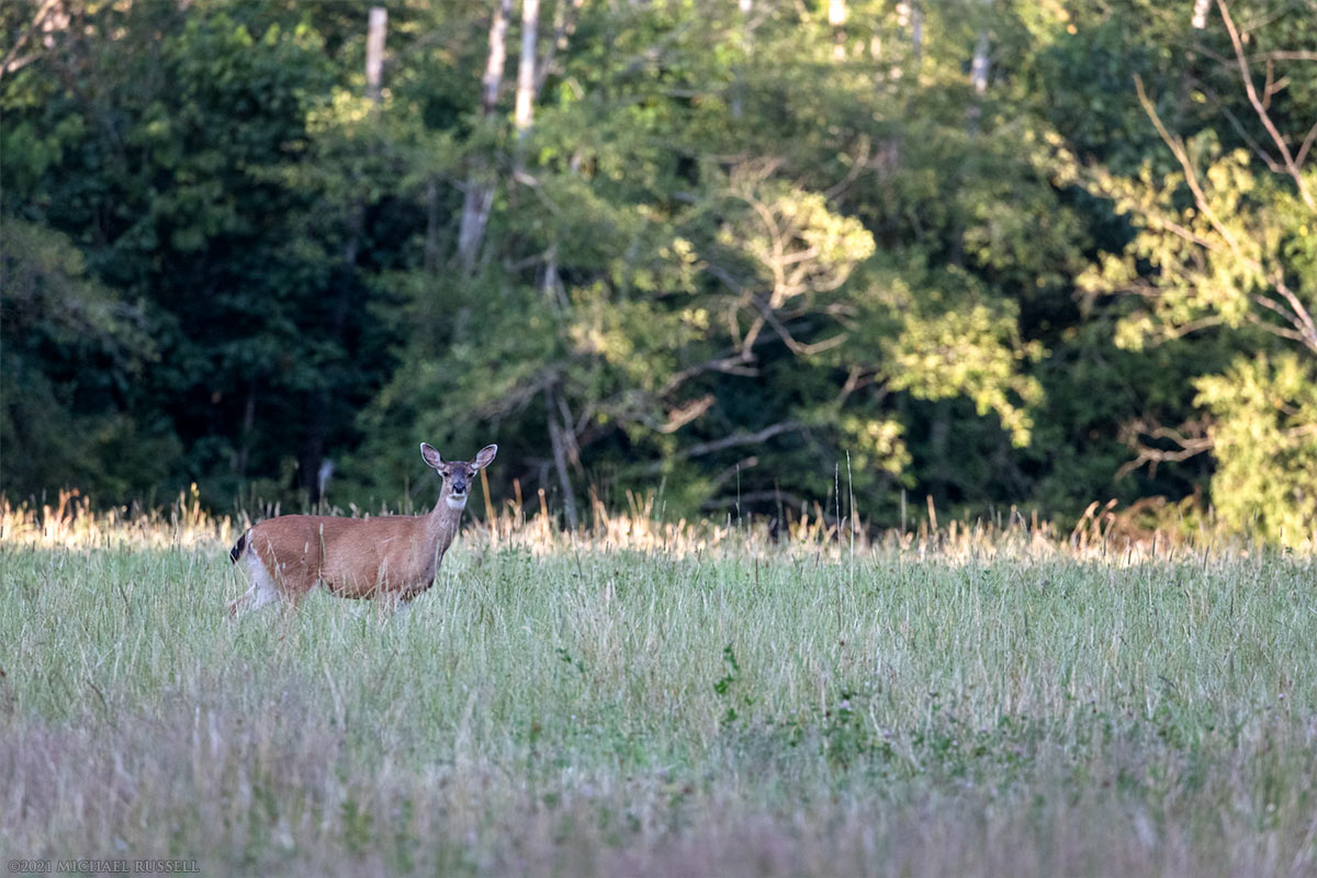 columbian black-tailed deer Foraging in a Field