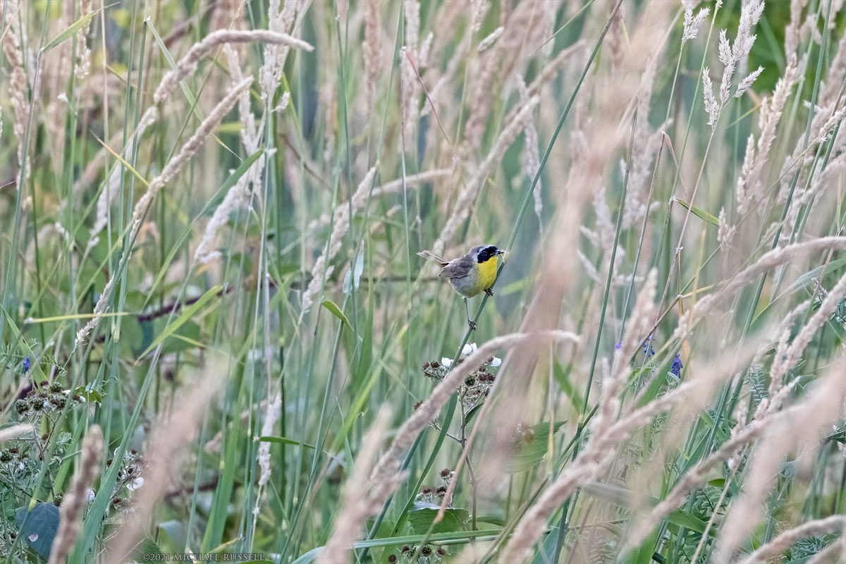 common yellowthroat - geothylpis trichas on hanging grass stem