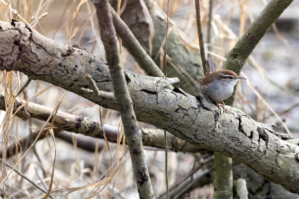 bewicks wren in ladner harbour park