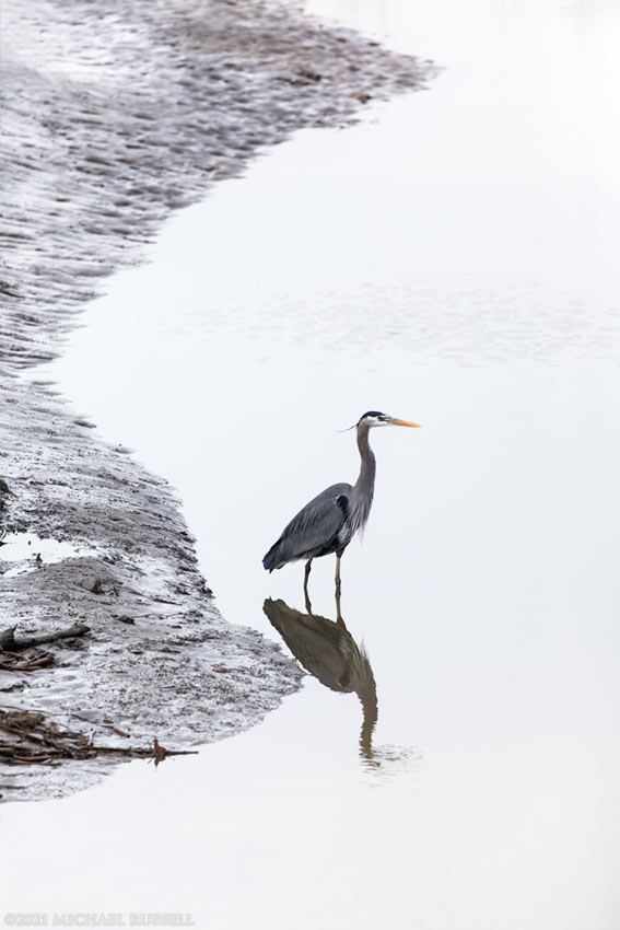 great blue heron along the fraser river in ladner