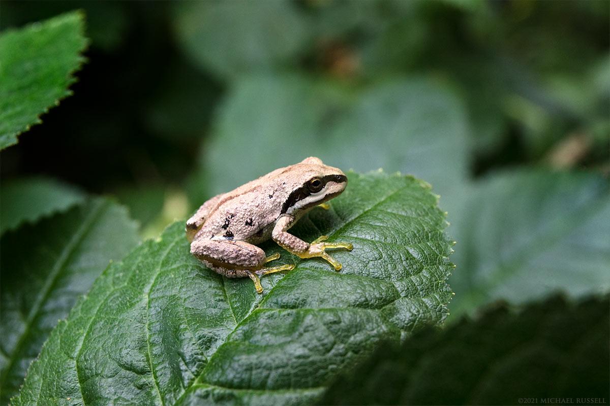 juvenile pacific tree frog pseudacris regilla on a leaf