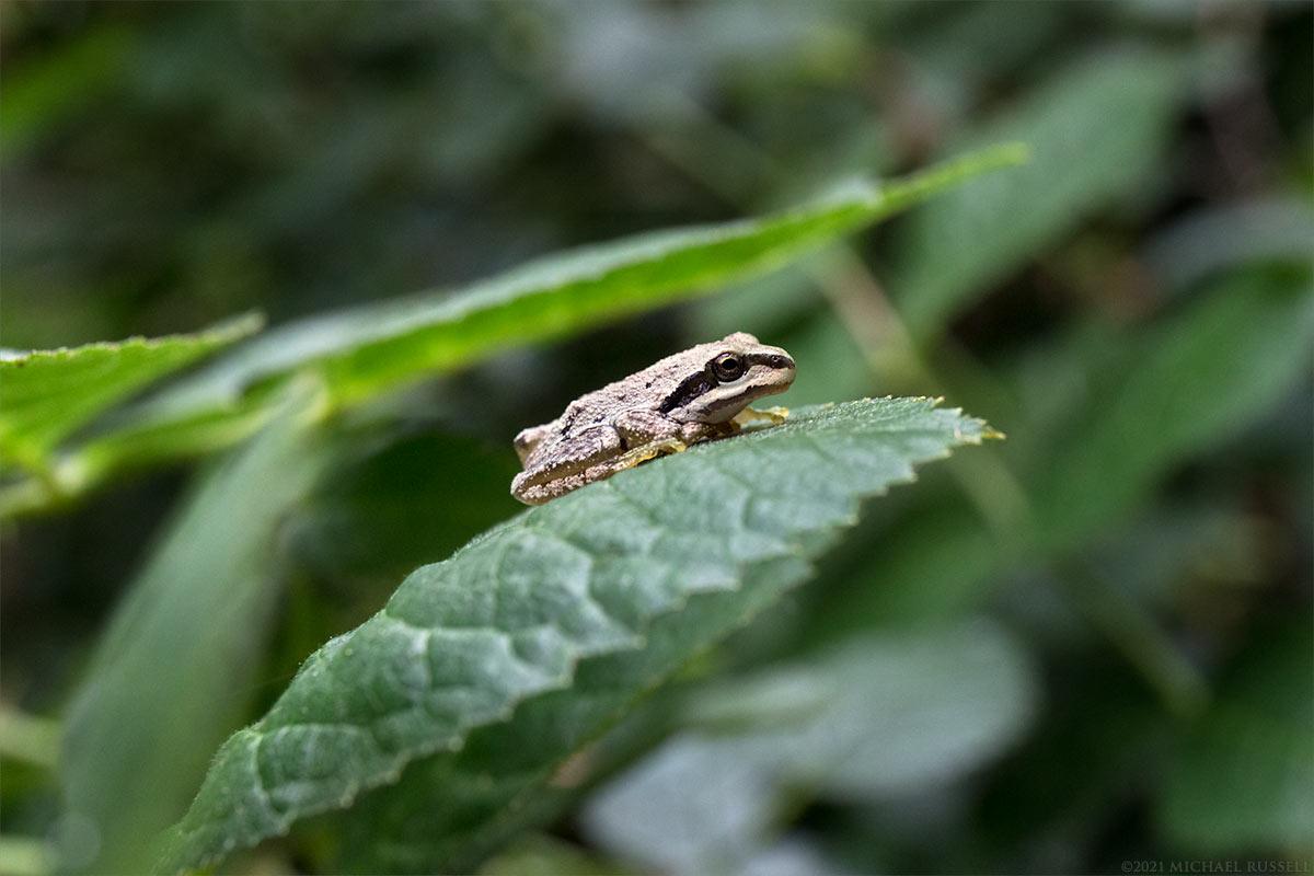juvenile pacific tree frog pseudacris regilla on a rose leaf