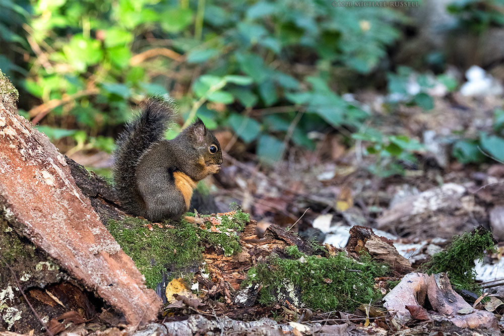 douglas squirrel eating seeds at richmond nature park
