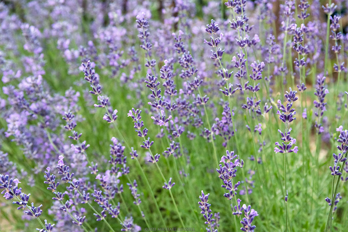 lavender flowers and stems