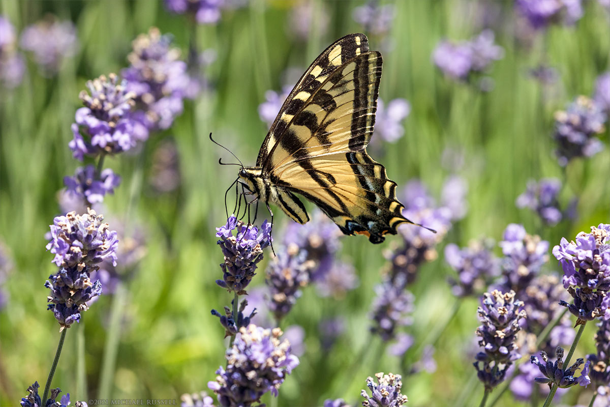 western tiger swallowtail papilo rutulus on lavender flowers