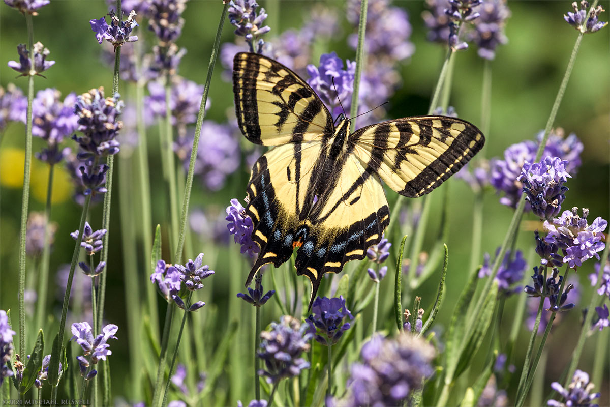 western tiger swallowtail lavender flowers