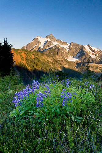photo arctic lupines and mount shuksan at sunset