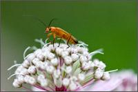 beetle on astrantia major