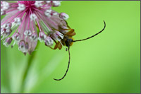 longhorned beetle (xestoleptura sp. possibly) on astrantia major
