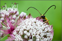 longhorned beetle (xestoleptura sp. possibly) on astrantia major