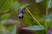 mertens bluebells mertensia paniculata