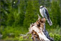 gray jay perisoreus canadensis