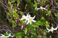 white avalanche lily erythronium montanum