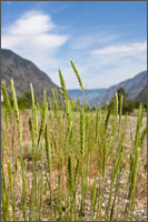 similkameenvalleygrass