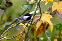 chickadee cropped