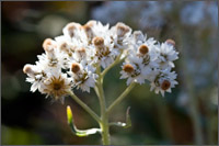 pearly everlasting anaphalis margaritacea