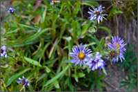 alpine aster - aster alpigenus