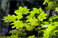 vine maple acer circinatum at ohanapecosh campground