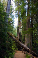 fallen tree along trail to grove of the patriarchs