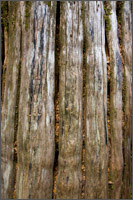 western red cedar thuja plicata bark