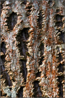 walnut bark