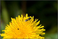 wasp fly dandelion taraxacum officinale