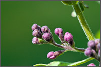 Lilac  -  lilas commun - about to bloom