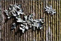 lichen on arbour