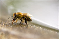 honey bee drinking at birdbath