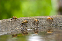 honey bee drinking at birdbath