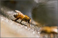 honey bees drinking at birdbath group