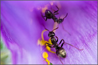 ants collecting pollen on pasque flower