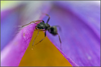 ant collecting pollen on pasque flower