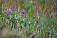 lupine lupinus arcticus near vernon bc