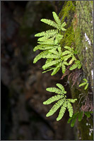 maidenhair fern - adiantum pedatum - clings to cliff over the muddy fork of the cowlitz river in mount rainier national park