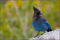 stellers jay - cyanocitta stelleri - in mount rainier national park