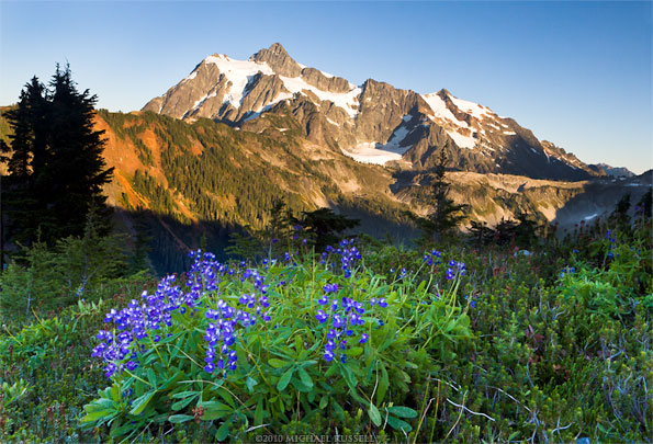 subalpine lupines on kulshan ridge with mount shuksan washington
