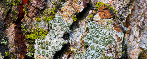 lichen and moss on maple trunk