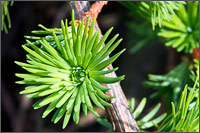 weeping european larch - larix decidua - needle cluster