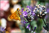 woodland skipper ochlodes sylvanoides sipping nectar from a lavender flower