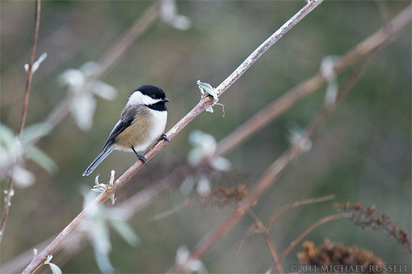 photo of black capped chickadee