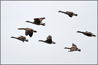 a flock of canada geese - branta canadensis - flying over the harrison river after feeding in the fields by kilby historic site