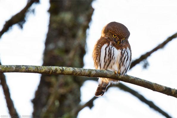 northern pygmy-owl - glaucidium gnoma