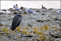a great blue heron - ardea herodias - at the lower stave river in mission british columbia