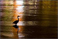 a great blue heron - ardea herodias hunts-  along the seawall of stanley park
